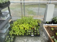 Image of garden vegetable starters in the greenhouse.